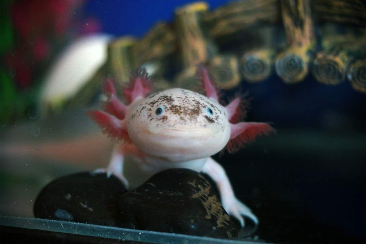 Axolotl breeders
